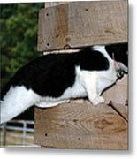 Cat Looking Thru The Knot Hole Metal Print