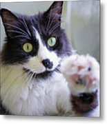 Cat Reaches For Camera Metal Print