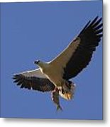 Catch Of The Day - White-bellied Sea-eagle Metal Print