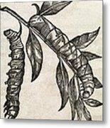 Caterpillars, 17th Century Artwork Metal Print