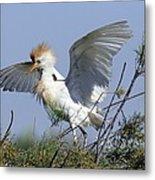Cattle Egret In Breeding Plumage Metal Print