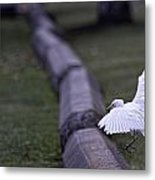 Cattle Egret Landing Metal Print