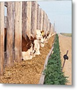 Cattle Feeding Metal Print