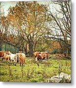 Cattle Gazing On Remaining Green Grass Metal Print
