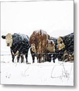 Cattle In A Snowstorm In Southwest Michigan Metal Print