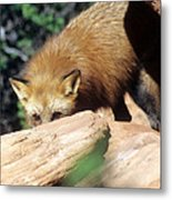 Cautious Red Fox Metal Print