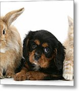 Cavalier King Charles Spaniel Pup Metal Print