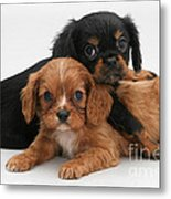 Cavalier King Charles Spaniel Puppies Metal Print