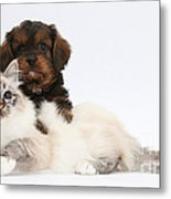 Cavapoo Pup And Tabby-point Birman Cat Metal Print