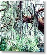 Cedar Draped In Spanish Moss Metal Print