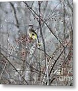 Cedar Wax Wing 3 Metal Print