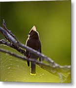 Cedar Waxwing Perched In Tree Metal Print
