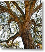 Centenarian Cork Tree Metal Print