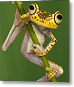 Chachi Tree Frog Hypsiboas Picturatus Metal Print