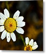 Chamomile Flower In Decay Metal Print