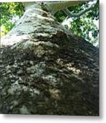 Changing Bark Of The Sycamore Metal Print