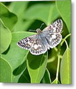 Checkered Skipper Metal Print