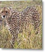 Cheetah Acinonyx Jubatus, Masai Mara Metal Print by Chris Upton