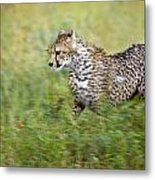 Cheetah Acinonyx Jubatus, Running Metal Print by Carson Ganci