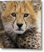 Cheetah Acinonyx Jubatus Ten To Twelve Metal Print