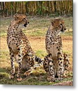 Cheetah Chat 1 Metal Print