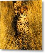 Cheetah Cubs Metal Print