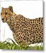Cheetah Hunting Metal Print