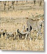 Cheetah Mother And Cubs Metal Print