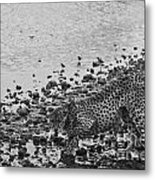 Cheetah Tip Toes For A Drink Metal Print