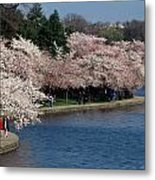 Cherry Blossom Festival, Jefferson Metal Print by Richard Nowitz
