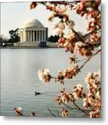 Cherry Blossom In Dc Metal Print