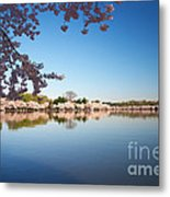 Cherry Blossoms Along The Tidal Basin Metal Print