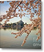 Cherry Blossoms And Jefferson Memorial Metal Print