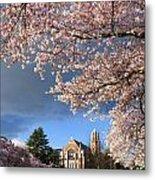 Cherry Blossoms At University Of Washington Metal Print