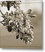 Cherry Blossoms Sepia Metal Print