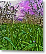 Cherry Orchard After The Storm Metal Print