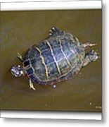 Chester River Turtle Metal Print