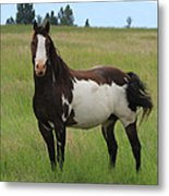 Chestnut Overo Paint Stallion Metal Print