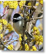 Chickadee Among The Blossoms Metal Print