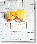 Chicken Genetics Metal Print