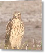 Chicken Hawk 1 Metal Print