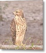 Chicken Hawk 2 Metal Print
