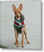 Chihuahua In A Sweater Metal Print