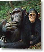 Chimpanzee Adult Female With Orphan Baby Metal Print