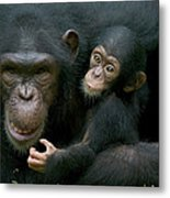 Chimpanzee Pan Troglodytes Adult Female Metal Print