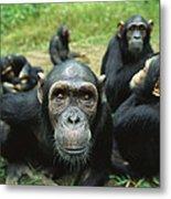Chimpanzee Pan Troglodytes Female Metal Print