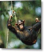 Chimpanzee Pan Troglodytes Resting Metal Print