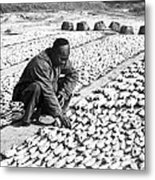 Chinese Man Drying Fish On The Shore - C 1902 Metal Print