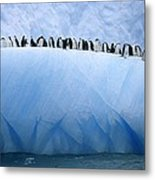 Chinstrap Penguins Lined Metal Print