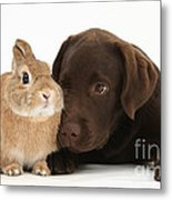 Chocolate Labrador Pup Metal Print